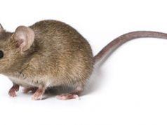 The Development of Transgenic Mice