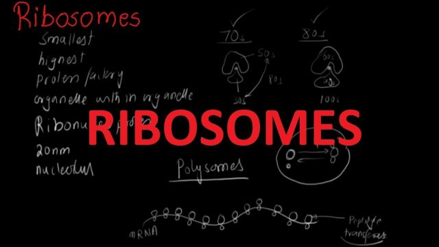 Functions and Structure of Ribosomes